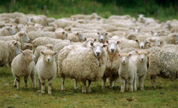 El sector ovino «está en una crisis profunda, llevada a cabo por un combo, en donde la falta de rentabilidad está llevando al quebranto y al despido de personal».
