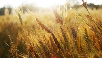 Críticas a Brasil por trigo sin AEC