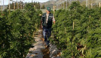 Cannabis medicinal: con una nueva reglamentación, impulsan la producción y facilitan el acceso a la población
