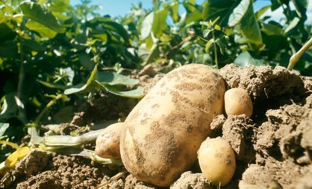 El curasemilla es uno de los factores de mayor importancia a la hora de obtener elevados rendimientos y mayor eficiencia en el uso de recursos destinados al cultivo.