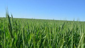 Trigo: un cultivo con precios atractivos