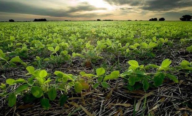 En esta campaña, complicada en rentabilidad, muchos productores se volverán a refugiar en la soja.