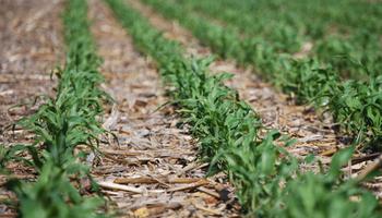 La siembra directa incrementó la materia orgánica de los suelos