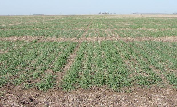 En números, la cebada le saca ventaja al trigo: cuál es el margen bruto de la fina en la región sur