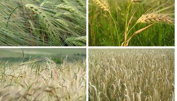 ¿Cómo evitar mermas en los rindes de los cultivos de invierno?