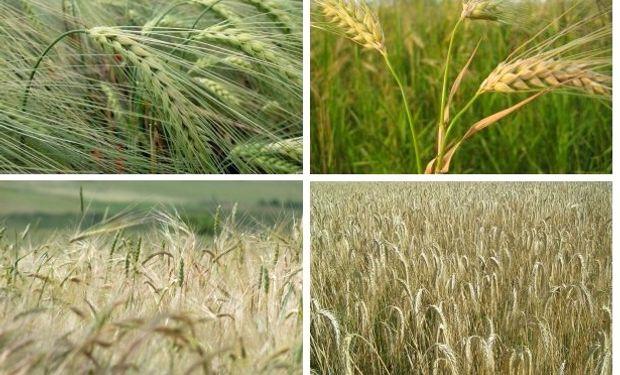 La sanidad es un factor determinante en el rendimiento y la estabilidad de cultivos de invierno, como trigo y cebada.