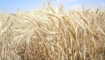 El Gobierno liberó un nuevo cupo de trigo para exportación