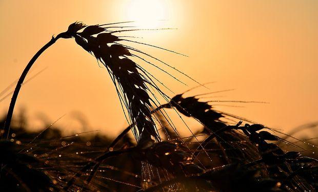 El trigo recupera terreno en el mercado internacional.
