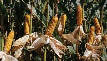 Campaña 16/17: fiebre del maíz