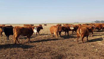"""Robaron 50 vacas preñadas y ofrecen 200.000 pesos de recompensa: """"Es muy triste lo que nos ocurrió"""""""