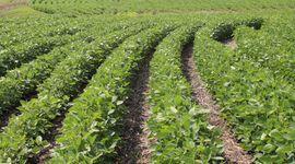 El precio de la soja revirtió la tendencia inicial y sube en Chicago