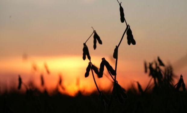 Con la ayuda de las lluvias los cultivos muestran un buen desarrollo en el vecino país. Foto: El País Uruguay