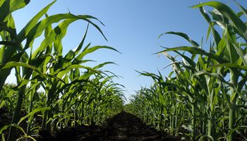 Fondos especulativos impulsan las cotizaciones del maíz