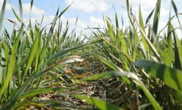 Lote de trigo sobre rastrojo de soja en pleno desarrollo de planta, en el centro del departamento San Jerónimo.-