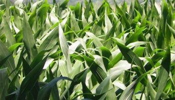 Un potencial default podría golpear la siembra de maíz