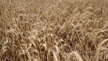 Diferencias en el precio trigo por problemas de calidad
