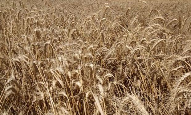 Fuerte disparidad en los valores locales del trigo.