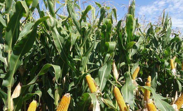 Cóctel mortal para maíz: baja precio, suben costos