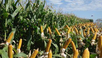 Aumentaron los contratos para el maíz