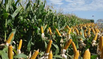 Se desdobló el mercado de maíz