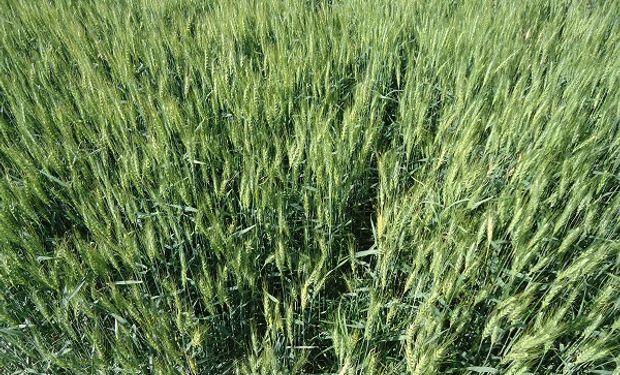 Combinaron dos variedades de trigo y obtuvieron un equilibrio perfecto entre calidad y rendimiento