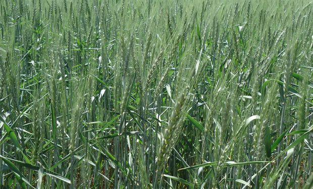 Lluvias mejoran estado de trigo y alientan siembra de maíz