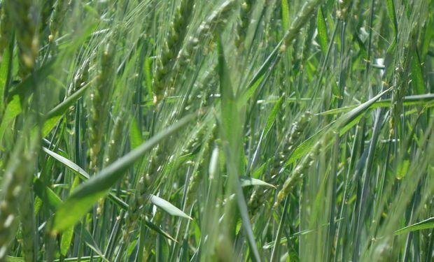 El trigo con un fuerte contraste de humedad