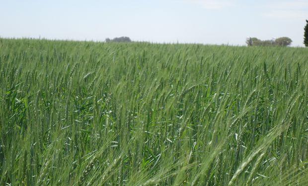 Panorama alentador para el trigo en el Mar Negro