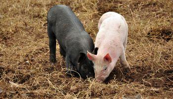 Masivo sacrificio de cerdos en China
