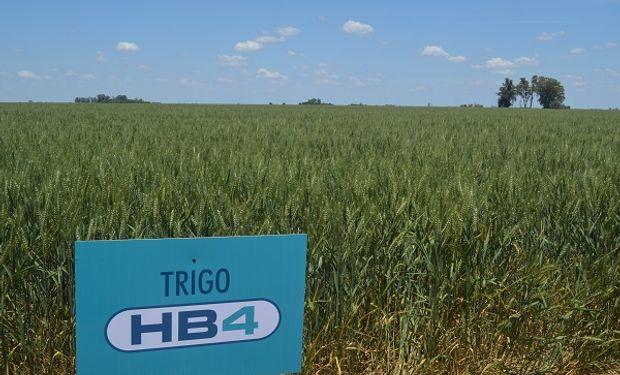 Trigo HB4 de Bioceres.