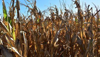 El maíz se vuelve tendencia en el suroeste bonaerense a pesar de las condiciones adversas