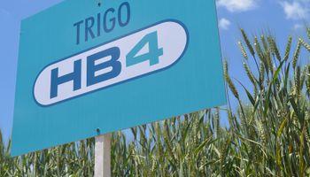El trigo resistente a sequía ya es una realidad