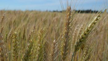 Lanzan nuevos fungicidas para trigo que prometen picos de rendimiento