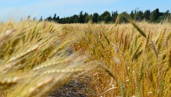 ¿Cómo nutrir el trigo?