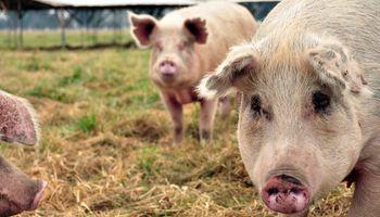 La cadena porcina sigue rompiendo récords