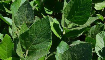¿Qué soja vas a sembrar este año?