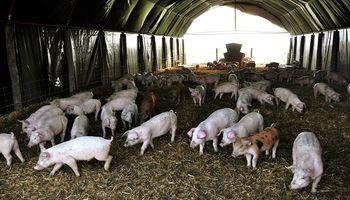 Brindan recomendaciones sobre la peste porcina por un caso que se detectó en Brasil
