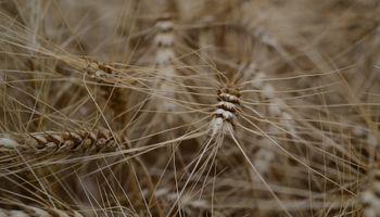 El trigo amanece negativo en Chicago