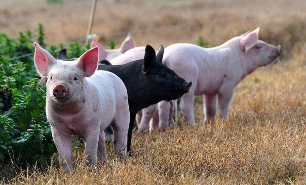 Países del sur expusieron un plan estratégico regional contra la peste porcina africana