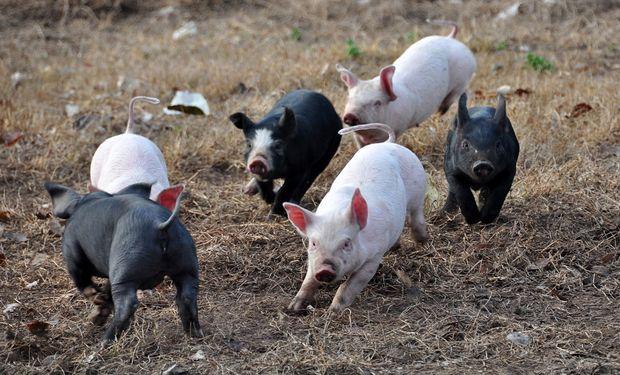 Producción porcina.