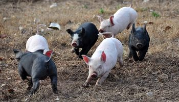 El cerdo argentino será la prioridad de Agroindustria en la gira a China