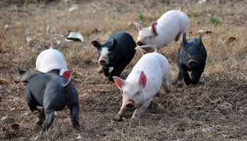 Río negro: cayeron a la mitad los productores de cerdos por la suba del maíz