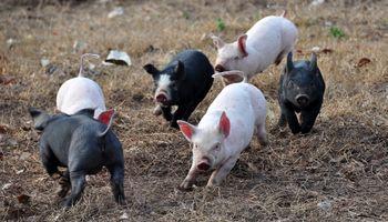 Bulgaria sacrifica 24.000 cerdos por Peste Porcina Africana