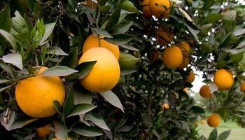 Detectan un caso de HLB en plantación de naranja