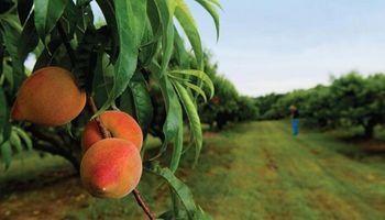 Mendoza: Productores de frutas de carozo con una gran crisis