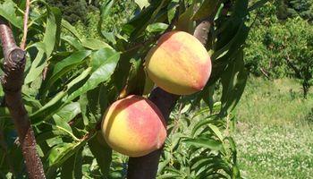 Se desarrollaron dos nuevas variedades de durazno