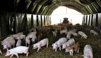 Con la molienda se alimentarían a 11 millones de cerdos más que en 2012