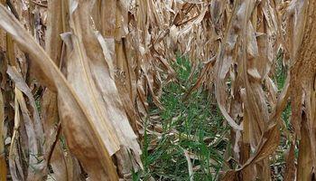 Maíz tardío: elegir el momento óptimo de cosecha minimiza la presencia de micotoxina