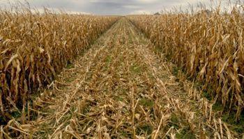 La cosecha de maíz comienza a tomar impulso en el centro y norte del país