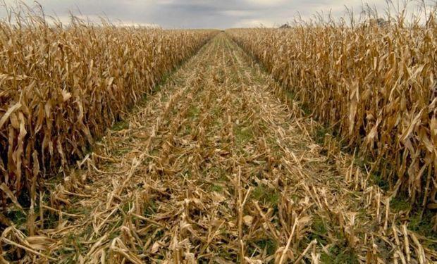 Avanza la cosecha de maíz.